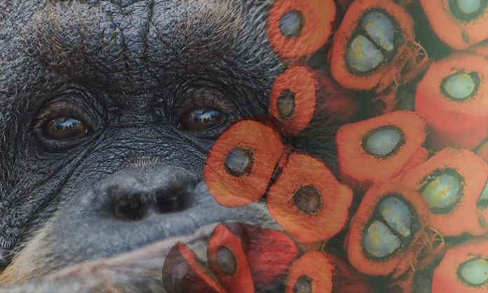 Palm Oil Deforestation and Orangutan Endangerment