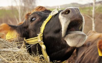 Dairy Farm Cruelty and Environmental Impacts