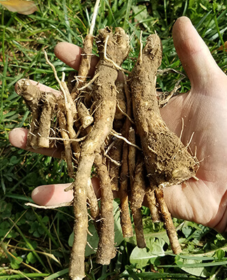 Freshly Harvested Chicory Roots
