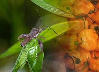 DIY Hot Pepper Insect Repellent